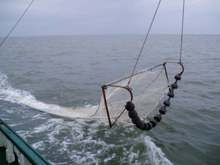 Beam trawl for fish trapping