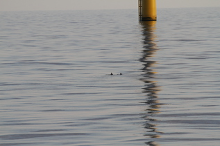 Back fins of two porpoises in a wind farm
